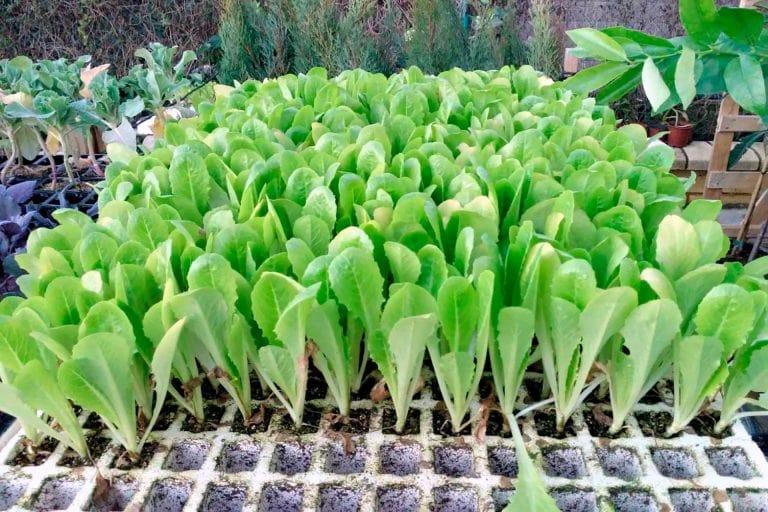 Plantones para siembra 01 - Semilleria Echaguy, Dos Hermanas