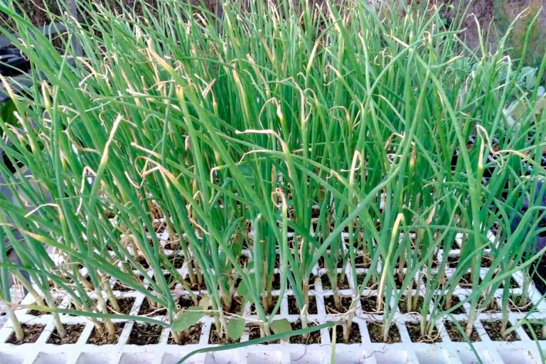 Plantones para siembra 02 - Semilleria Echaguy, Dos Hermanas