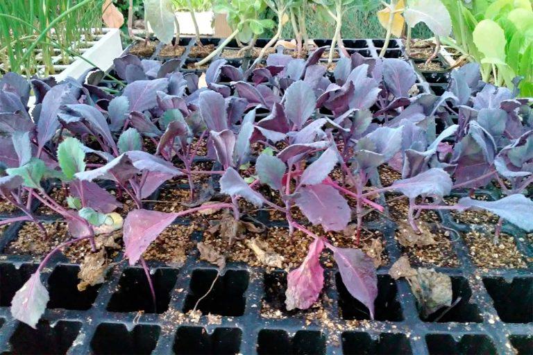 Plantones para siembra 03 - Semilleria Echaguy, Dos Hermanas